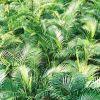 උක් පොල් ගස් (Chrysalidocarpus Lutescens)